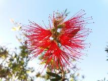 Calliandra lizenzfreie stockbilder