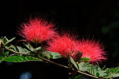 Calliandra Obrazy Royalty Free