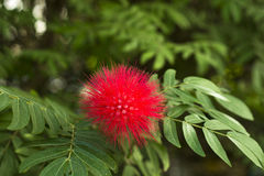 Calliandra flower Royalty Free Stock Photo