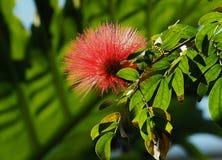 Calliandra Haematocephala ou árvore vermelha do sopro de pó imagem de stock
