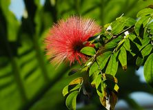 Calliandra Haematocephala Or Red Powder Puff Tree. With flower growing in greenhouse stock image