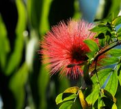 Calliandra Haematocephala Or Red Powder Puff Tree. With flower growing in greenhouse stock images