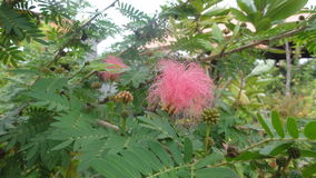 Calliandra Surinamensis Called `Powder-Puff` Royalty Free Stock Photo