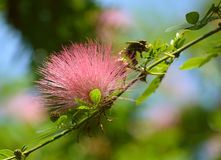 Calliandra Surinamensis Flower Stock Photography