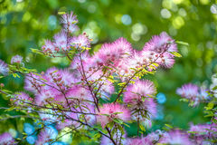 Calliandra Tweedii flower Royalty Free Stock Photos