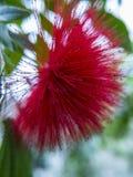 Calliandra vermelho inchado bonito Foto de Stock Royalty Free