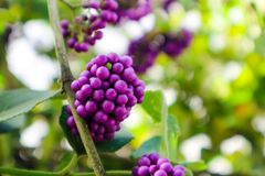 beautyberry is a genus of shrubs and small trees stock photos