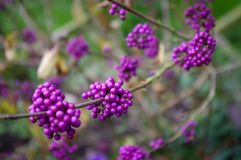 Callicarpa berries. Purple Callicarpa berries in autumn. Also known as Beauty Berry Stock Photos