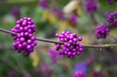 Callicarpa berries. Purple Callicarpa berries in autumn. Also known as Beautyberry Stock Photo