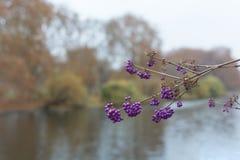Callicarpa bodinieri or giraldii Profusion. Purple berries in November. Purple berries Callicarpa bodinieri or giraldii Profusion branch on the background of the stock photography