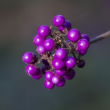 Callicarpa bodinieri Plant - Profusion. Beautiful bright purple berries. Such a pretty sight royalty free stock images