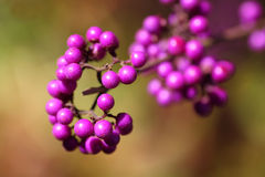 Callicarpa Bodinieri Profusion Stock Photo