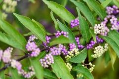 Callicarpa dichotoma fruit. Callicarpa dichotoma (common names, Purple Beautyberry or Early Amethyst Stock Image