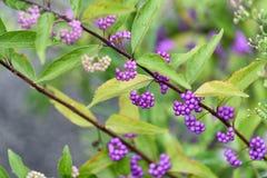 Callicarpa dichotoma fruit. Royalty Free Stock Photography