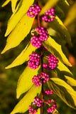 Callicarpa dichotoma issai Royalty Free Stock Photos