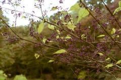 Callicarpa japonica日本人Beautyberry在美济礁津沽内在庭院,东京,日本里 库存照片