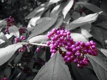 Callicarpa z purpurowymi jagodami i czarnym białym tłem fotografia royalty free
