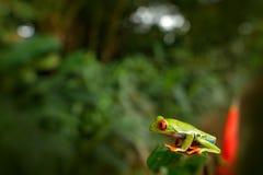 Callidryas Agalychnis, Красно-наблюданная древесная лягушка, животное с большими красными глазами, в среду обитания природы, Кост Стоковое Изображение RF