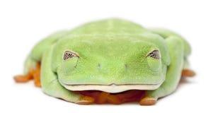 callidryas agalychnis eyed красное treefrog стоковое изображение
