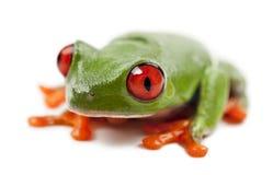 Callidryas Treefrog, Agalychnis callidryas Obrazy Royalty Free