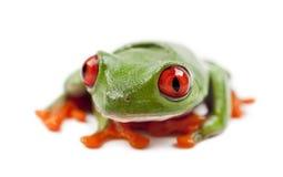 Callidryas Treefrog, Agalychnis callidryas Fotografia Royalty Free