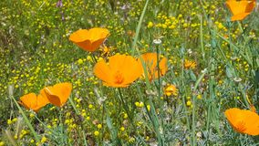 Callifornia State Flower - Poppy with Wildflowers. California state flower orange poppy growing in a field of yellow wildflowers stock image