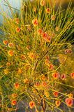 Calligonum. Rubicundum Bunge. Photographed at sunset. The flowering period. a length or portion of the subject. (Of a plant) in bloom royalty free stock images