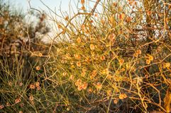 Calligonum. Rubicundum Bunge. Photographed at sunset. The flowering period. a length or portion of the subject. (Of a plant) in bloom royalty free stock image