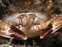 callinectes螃蟹礁石sp 免版税库存照片