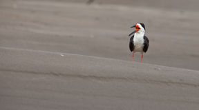 A calling Black Skimmer Tern Stock Photo