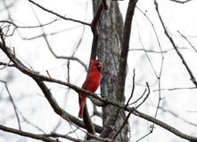 Calling cardinal Imagem de Stock Royalty Free
