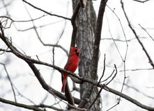 Calling cardinal Image libre de droits