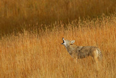 Calling Coyote. A lone Coyote calling to his pack Royalty Free Stock Photography