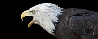 Calling eagle. Closeup portrait of an American bald eagle Royalty Free Stock Images