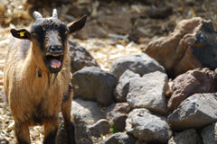 Calling goat. Portrait of a calling goat on stone background Royalty Free Stock Photography