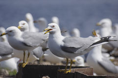 Calling Gull. A calling Ring-billed Gull near its nesting colony Royalty Free Stock Image