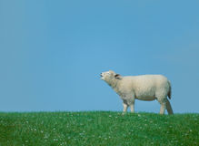 Calling lamb. For a help Stock Photography
