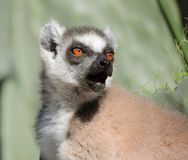 Calling Lemur cattta, ring tailed lemur, portraiture. Ring tailed lemur vocalizing for the other member of the group Stock Photography