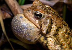 Calling Male American Toad. Male American Toad inflating his vocal sac in hopes of calling a female to him royalty free stock image