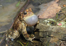 Calling Male American Toad. American Toad calling for mates Stock Photography