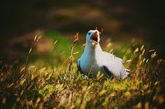 Calling seagull in long wild green yellow grass  Stock Photos