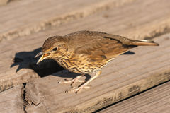 Calling song thrush. Close up of calling song thrush Royalty Free Stock Photos