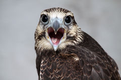 Calling To Say I Love You. Closeup of a Falcon with an open beak creating a heart-shape Stock Photography