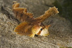 Callionyme de Sailfin Photos libres de droits