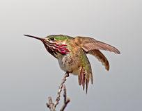 Calliope Hummingbird Zdjęcia Stock
