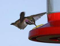 Calliope Hummingbird Stock Images