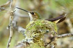 Calliope Hummingbird Royalty-vrije Stock Fotografie