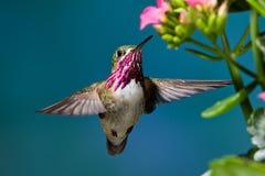 Calliope Hummingbird. Male Calliope Hummingbird Feeding at Kalanchoe