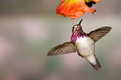 Calliope Hummingbird Stock Photography