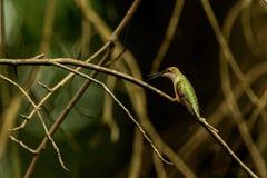Calliope Hummingbird foto de stock royalty free